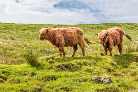 Two horned highland cows standing in a field on the Isle of Skye, Scotland, UK.
