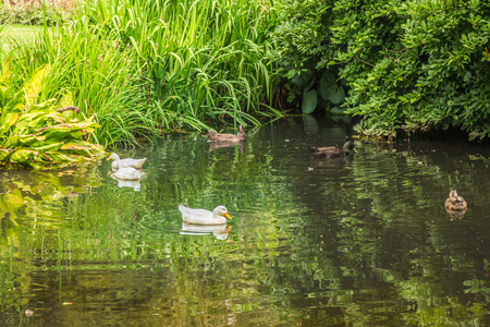 Ducks swimming on a pond with reflections in the water.