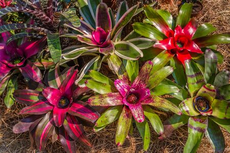 Close up of Neoregelia (Bromeliaceae,) Ornamental Bromiliad also called Arabian Nights. It is native to South American rainforests.