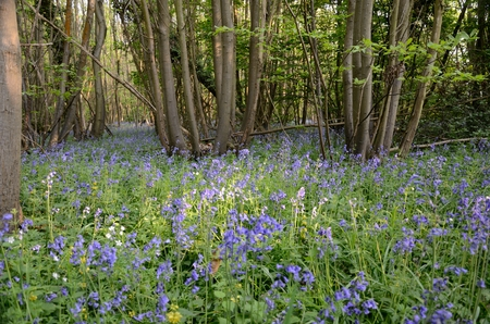 meant: Bluebells in East Blean Woods, Kent  A Sunny day meant tha tthe bluebells were colourful and pretty
