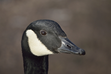 goose head: Canada Goose Head from the side