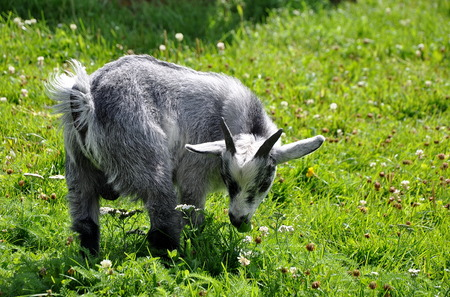 Young goat in green meadow eating grass Stock Photo