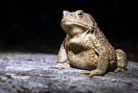 Common toad - bufo - on moss covered stone in the night closeup