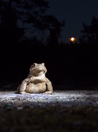 Common toad - bufo - on moss covered stone in the full moon night in the forest closeup