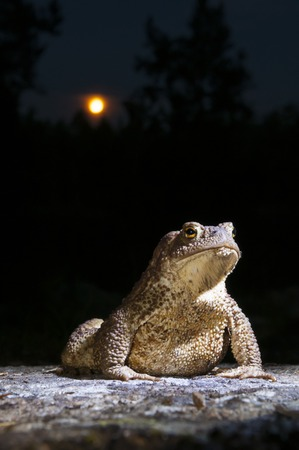 bufo toad: Common toad - bufo - on moss covered stone in the full moon night in the forest closeup