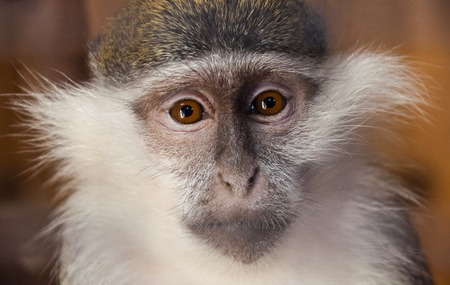 Young female green monkey (Chlorocebus sabaeus, sabaeus monkey or callithrix monkey) looking seriously directly at the viewer. The struggle for animal rights