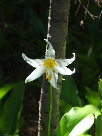 avalanche: White Avalanche Lily (Erythronium)