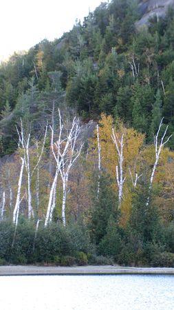 Stark Birches