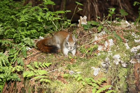 Small squirrel in Canadian forrest during spring photo