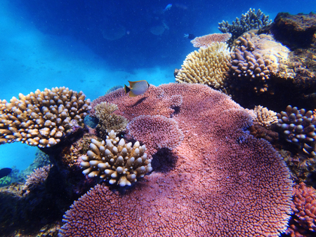 great barrier reef: Fish on the Great Barrier Reef, Queensland, Australia Stock Photo