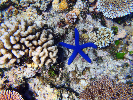 barrier reef: Starfish on the Great Barrier Reef, Queensland, Australia
