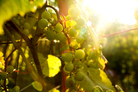 wei�e trauben: Bunch of white grapes in the setting sun. Harvesting.