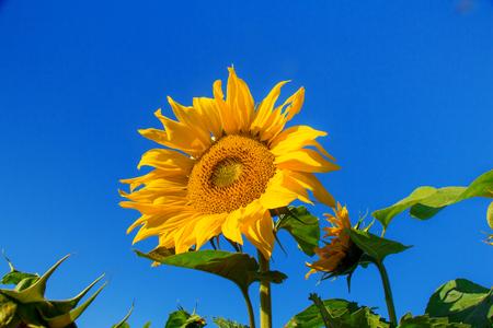 sunny day: Girasoles contra el cielo azul en un d�a soleado.