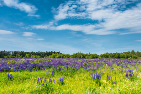 lupines: Field of blue lupines against the blue sky. Rural landscape.