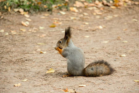 gnaw: The squirrel gnaws a nut in autumn park. Stock Photo