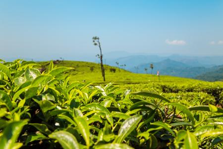 Tea plantations in Munnar, Kerala, India. Stunning views of green hills with blue sky.