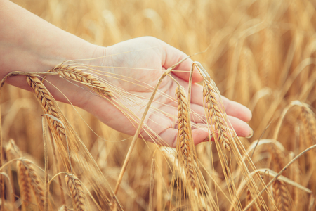 Wheat field. Female hand touching wheat spikelets. Summer harvest.