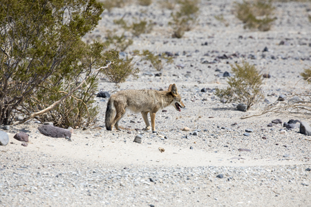 A Coyote in Death Valley, California
