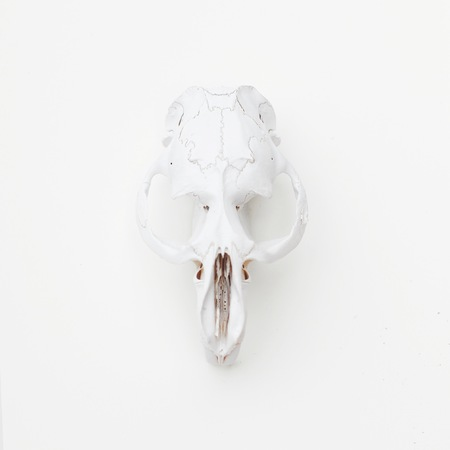 White animal skull on a white background. Cruelty Free.