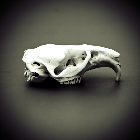 White animal skull on a black background side view. Cruelty Free.