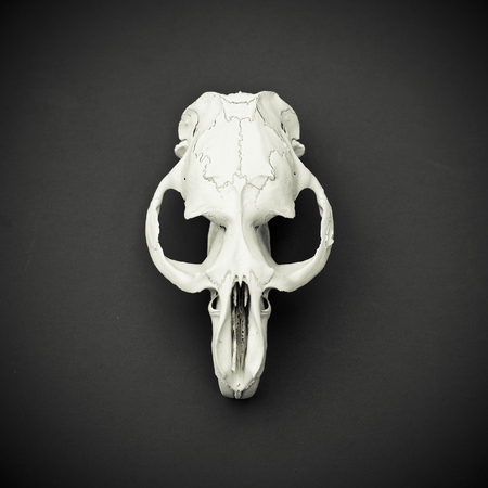 White animal skull on a black background top view. Cruelty Free.