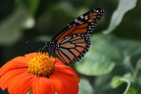 orange butterly in garden Stock Photo