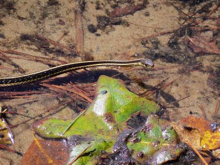 Snake zwemmen in het meer