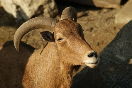 Portrait of a Barbary Sheep photo