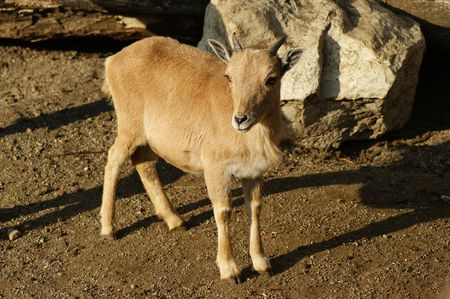 Little Barbary Sheep photo
