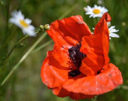 Poppy Field, Eden, Utah Stock Photo
