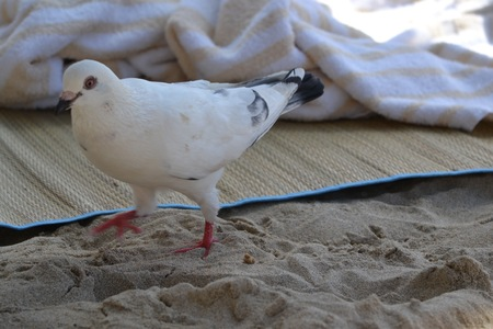 pidgeon: Pidgeon on the beach Stock Photo