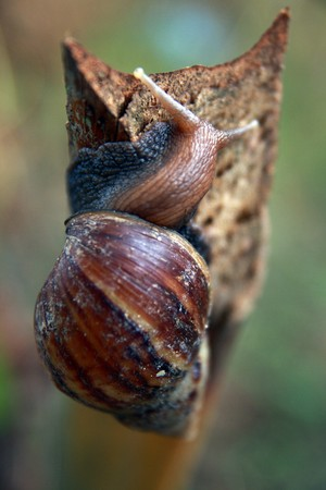 gastropoda: Snail climbing slowly to the top of a wood