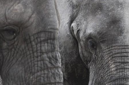 Close-up of African elephants, Zambia