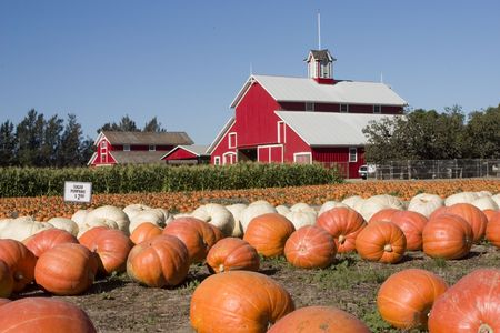 pumpkins and the red barn