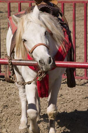 Ben schattig witte pony op de reële counry Stockfoto