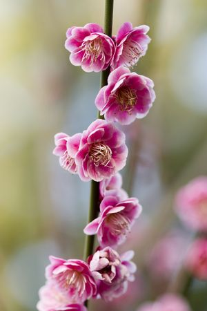 known: Japanese cherry blossoms- also known as Sakura