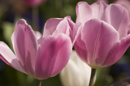 pink tulips in full bloom photo