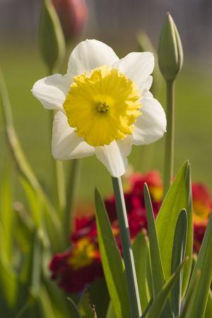 yellow daffodil 写真素材