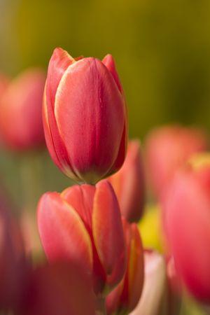 Roja tulipanes macro shot  Foto de archivo - 2570558