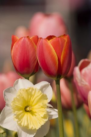 red tulips and daffodil photo