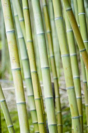 asian house plants: Bamboo trees