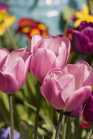 Three pink tulips photo
