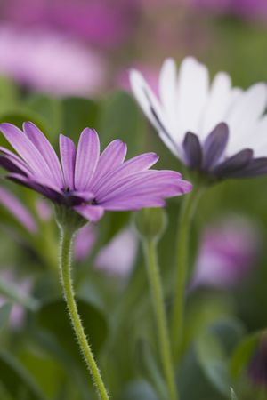 Pretty daisies in full bloom Stock Photo