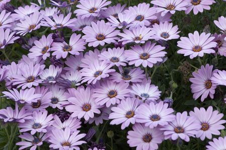 Beautiful purple daisies in the country