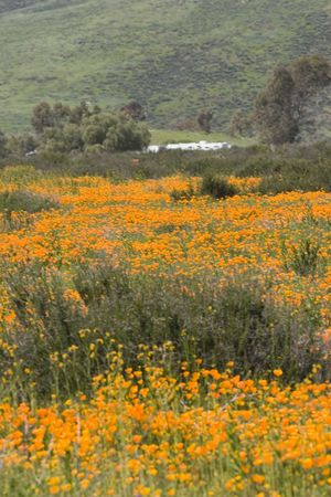 California poppies growing in the wild in the hills Stock Photo - 2745260