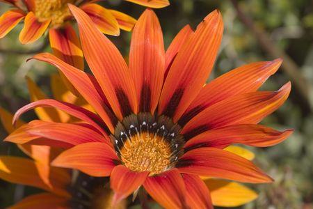 Orange Daisy cerca  Foto de archivo - 2766118