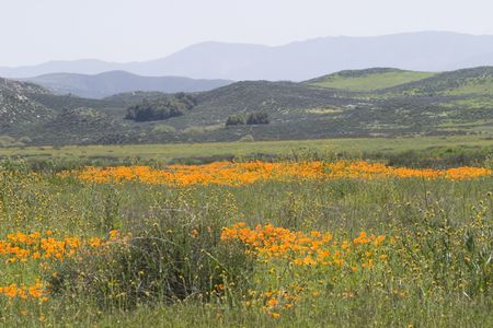 Scenic California hillside covered with wild poppies