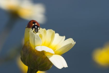Ladybug perched on a white daisy
