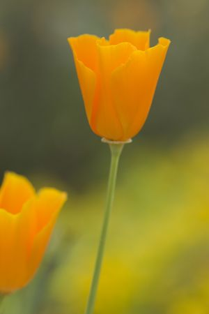 Pretty California poppies close up
