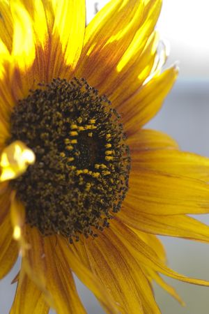 yellow sunflower close up photo